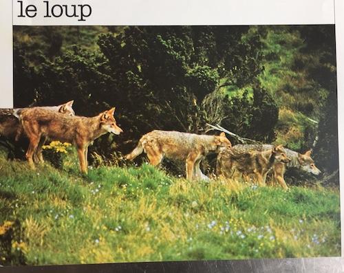 loups2_500.jpg